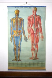 *Denoyer Geppert Medical Chart: Bone and Muscle.