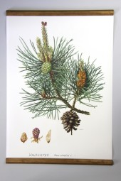 Original German Chart: Pine
